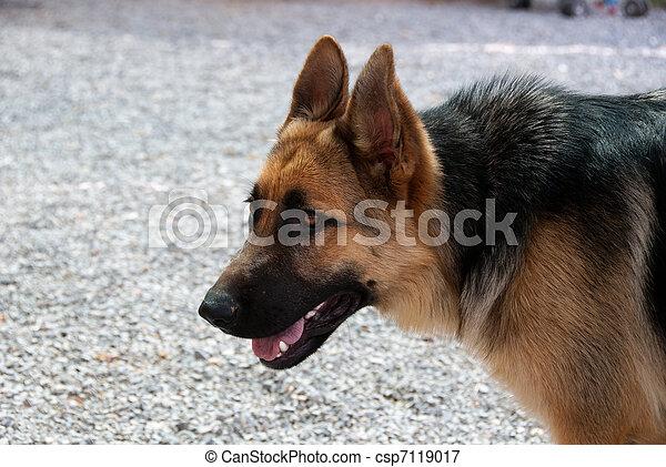 German Shepherd - csp7119017