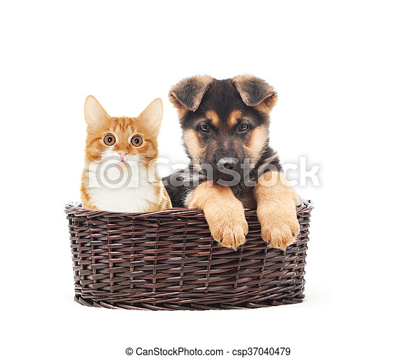 German Shepherd Puppy And Kitten In A Straw Basket On A White