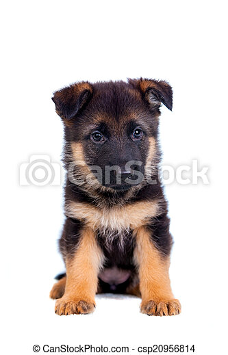German shepherd puppy - csp20956814