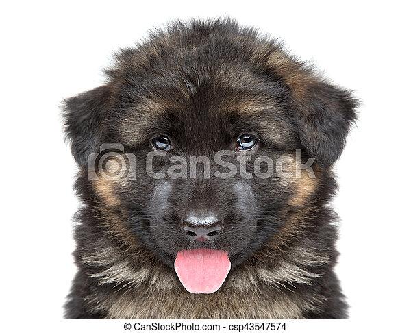 German shepherd puppy - csp43547574