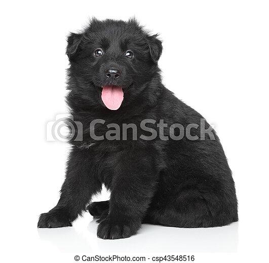 German shepherd puppy - csp43548516