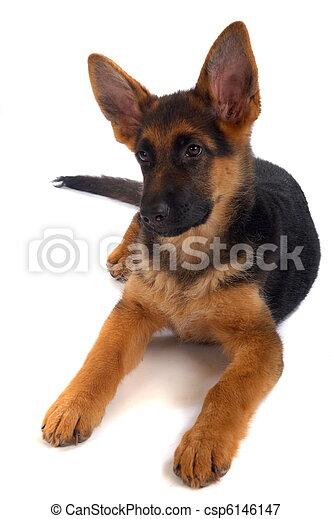 German shepherd puppy - csp6146147