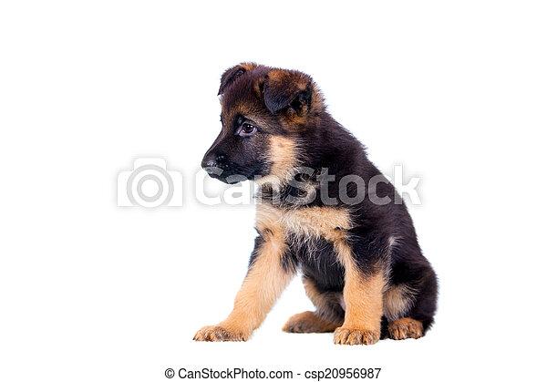 German shepherd puppy - csp20956987