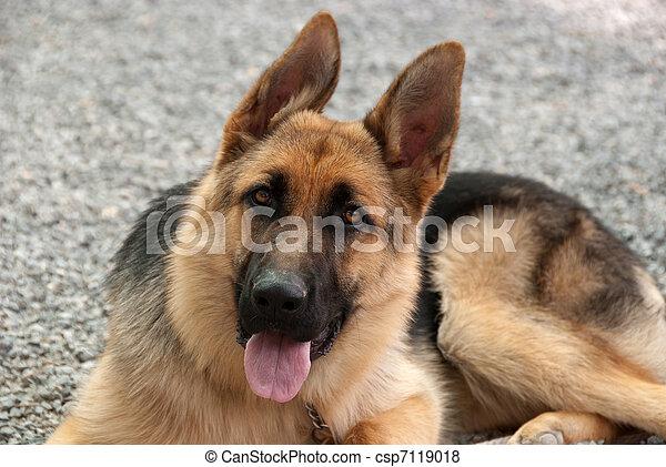 German Shepherd puppy - csp7119018