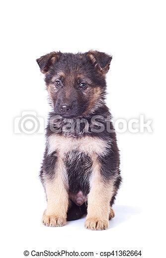German shepherd puppy - csp41362664