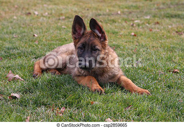 German Shepherd Puppy - csp2859665