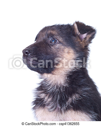 German shepherd puppy - csp41362655