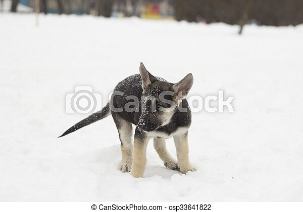 German shepherd puppy - csp33641822