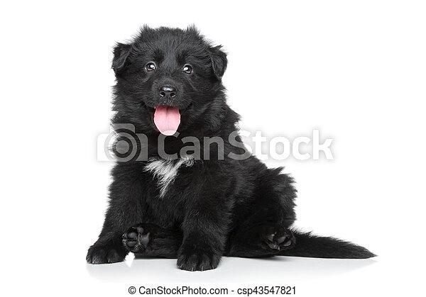 German shepherd puppy - csp43547821