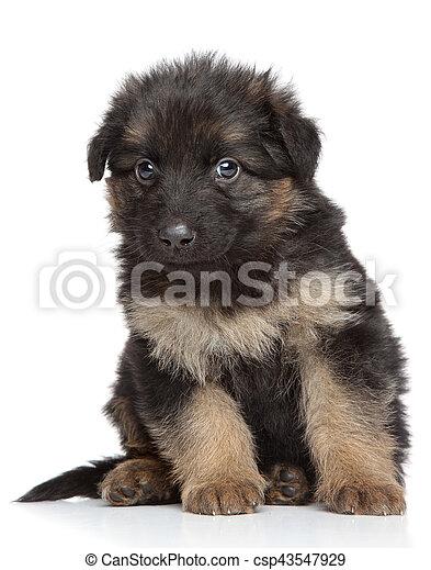 German shepherd puppy - csp43547929