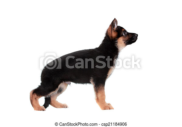 German shepherd puppy - csp21184906