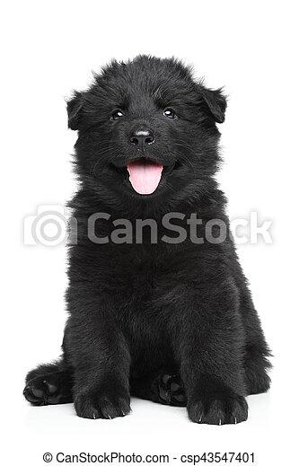 German shepherd puppy - csp43547401