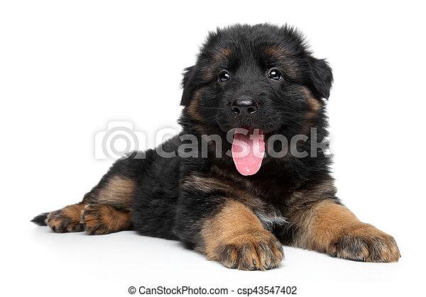 German shepherd puppy - csp43547402