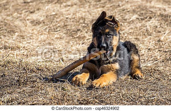 german shepherd puppy - csp46324902