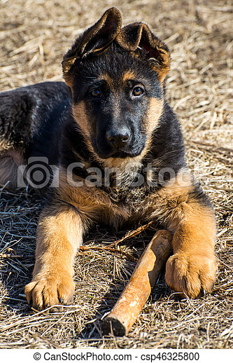 german shepherd puppy - csp46325800