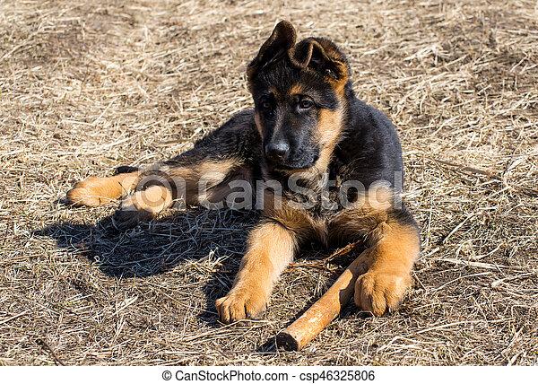 german shepherd puppy - csp46325806
