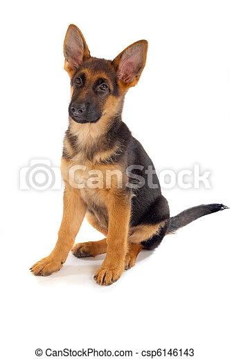 German shepherd puppy - csp6146143