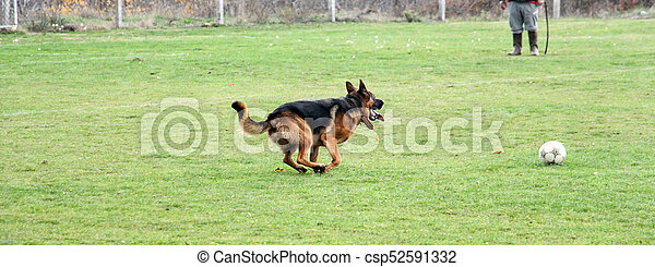 German Shepherd running on a soccer field - csp52591332
