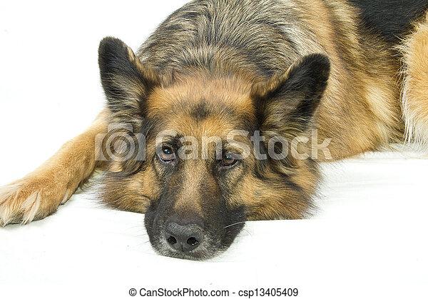 german shepherd sad - csp13405409