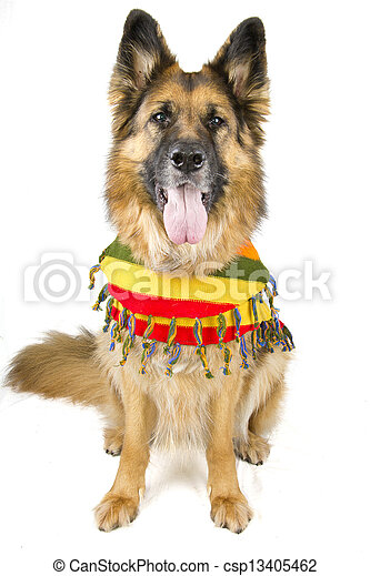 German Shepherd - csp13405462