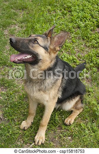German Shepherd. - csp15818753