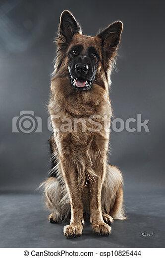 German Shepherd - csp10825444