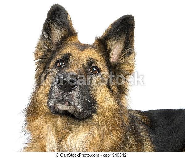 German Shepherd - csp13405421