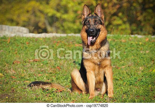 German shepherd - csp19774820