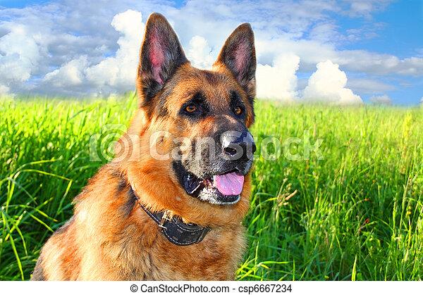 German shepherd - csp6667234