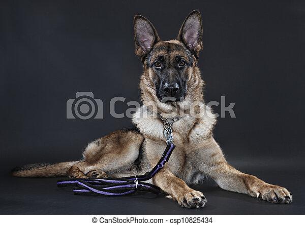 German Shepherd - csp10825434