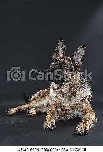 German Shepherd - csp10825438