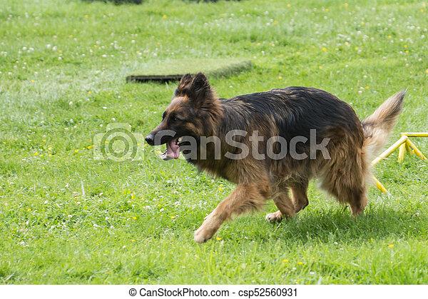 german shepherd - csp52560931