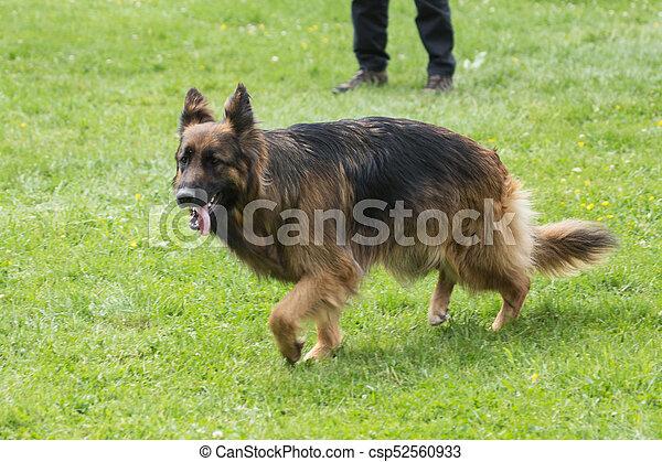 german shepherd - csp52560933