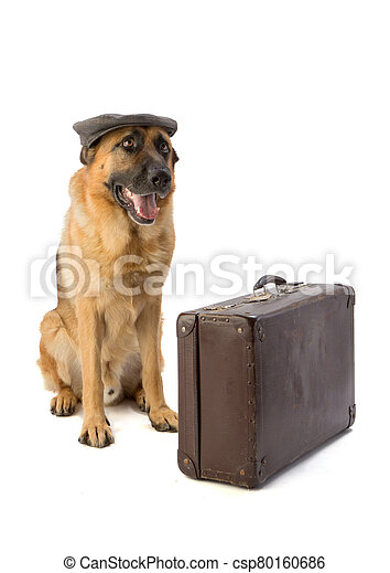 German shepherd with cap and suitcase - csp80160686
