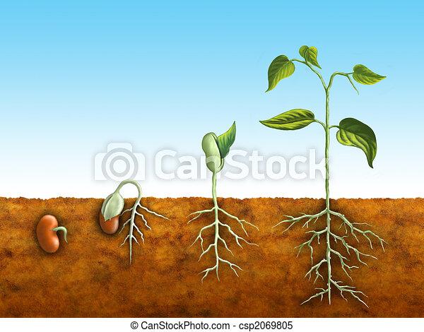 germinação, semente - csp2069805