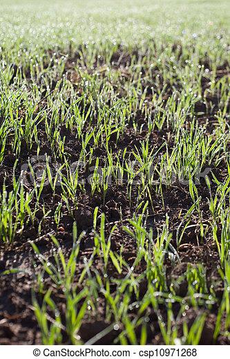 germinación, wheat. - csp10971268