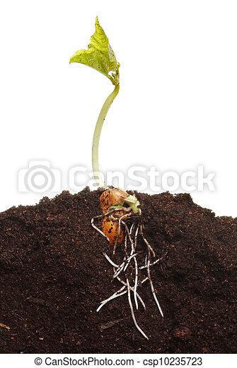 germinated, nieuw, plant - csp10235723
