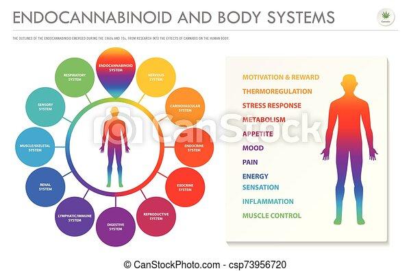 geschaeftswelt, koerper, infographic, endocannabinoid, horizontal, systeme - csp73956720