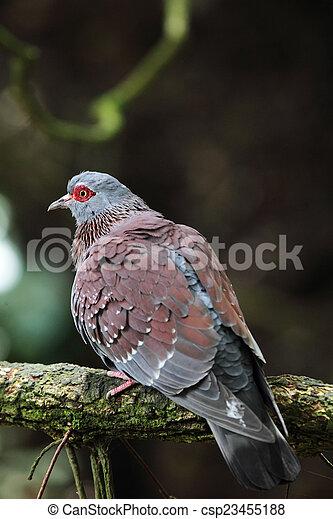 Speckledertaube (Columba guinea) - csp23455188
