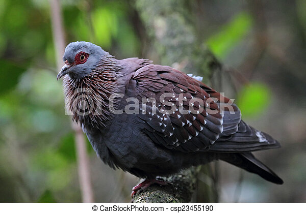 Speckledertaube (Columba guinea) - csp23455190