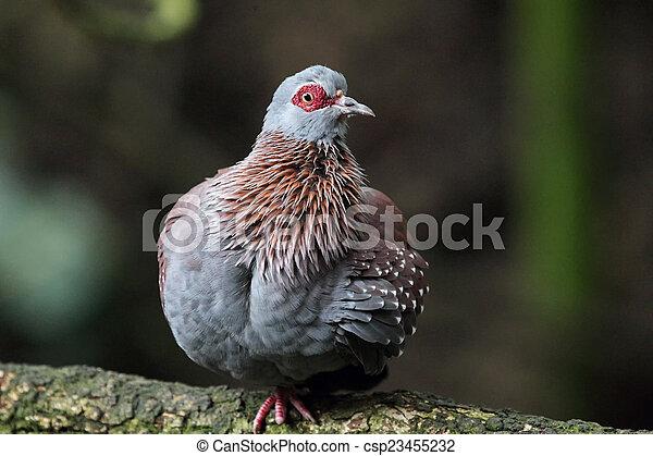 Speckledertaube (Columba guinea) - csp23455232