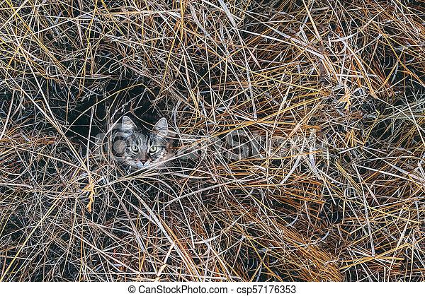 getrocknete , großes gras, auf, katz - csp57176353