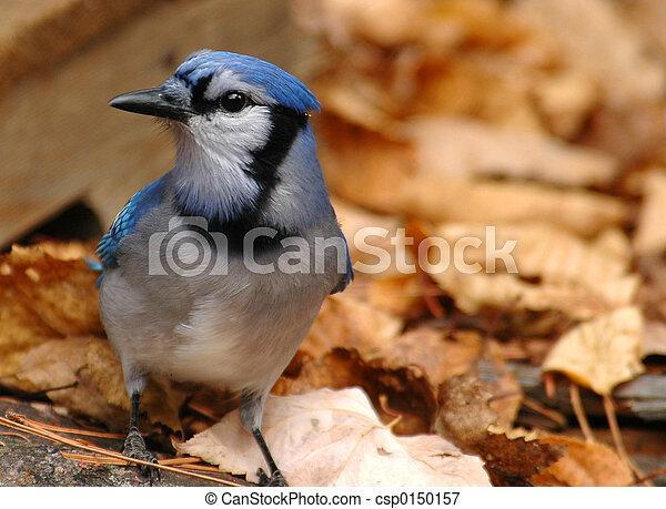 ghiandaia blu - csp0150157
