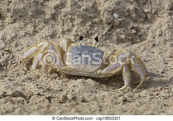 Ghost Crab on a Sandy Beach - csp19833301