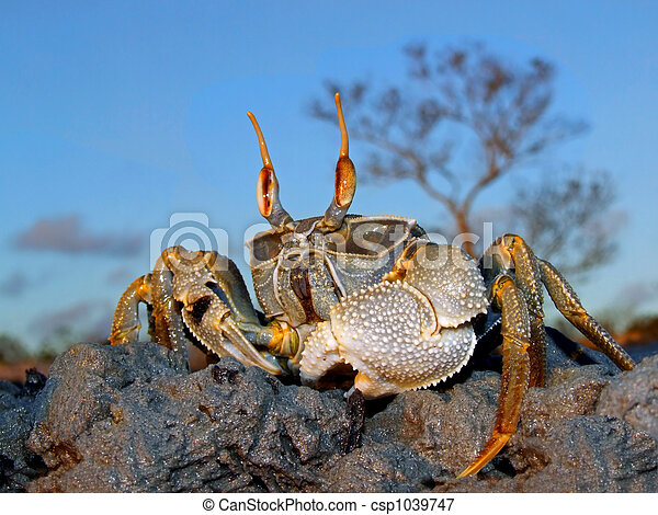 Ghost crab on rocks - csp1039747