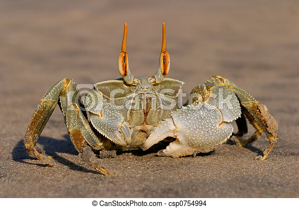 Ghost crab  - csp0754994