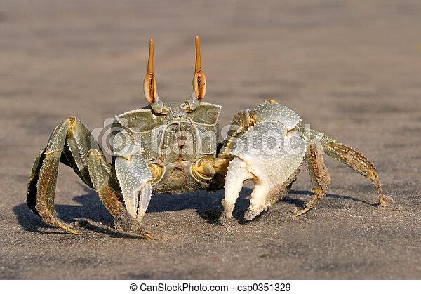 Ghost crab - csp0351329