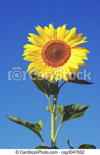 giallo, girasole - csp3047652