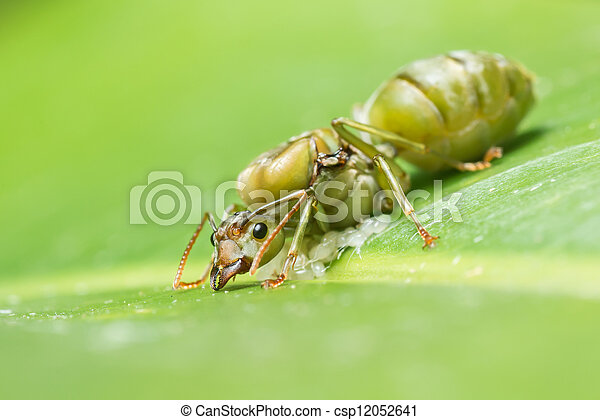 Giant ant laying eggs - csp12052641
