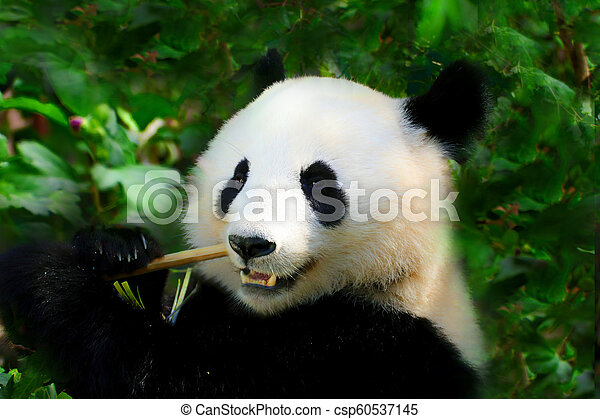 Giant Panda on the green background - csp60537145